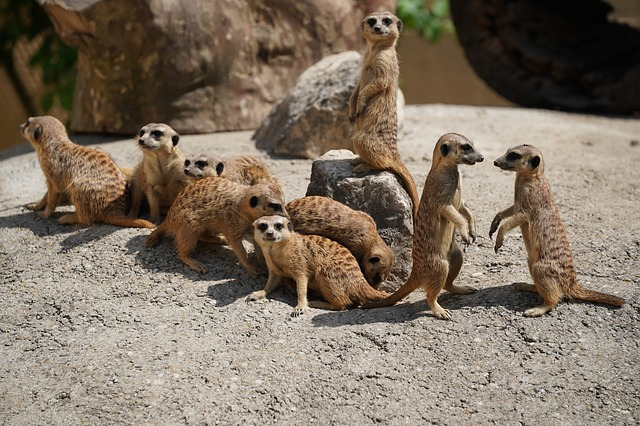 devět surikat
