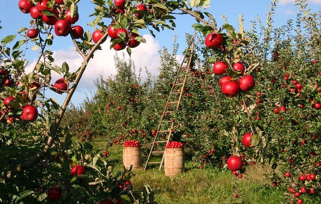sklízení jablek
